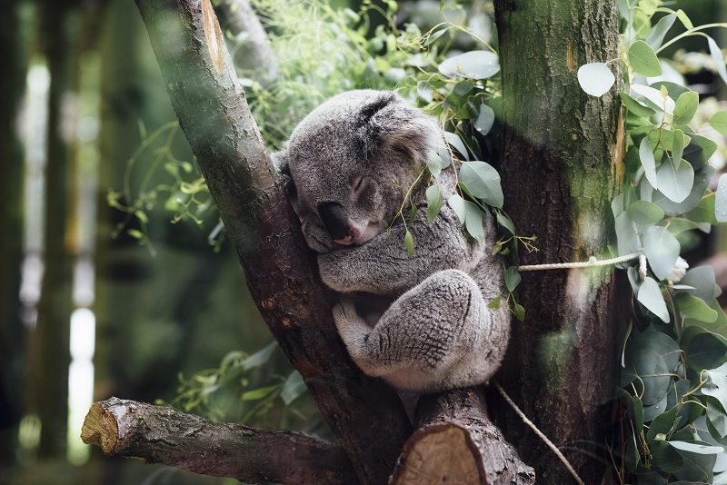 Koala bear in a tree